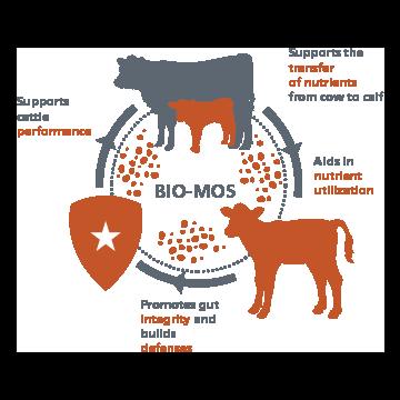 BIO-MOS beef infographic1