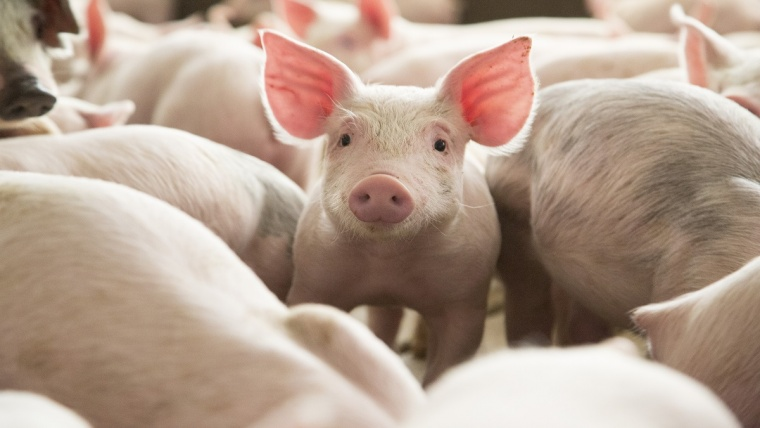 Iowa-Pig-016